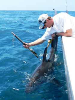 marlin with pop-up satellite tag